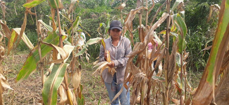Recogiendo maiz